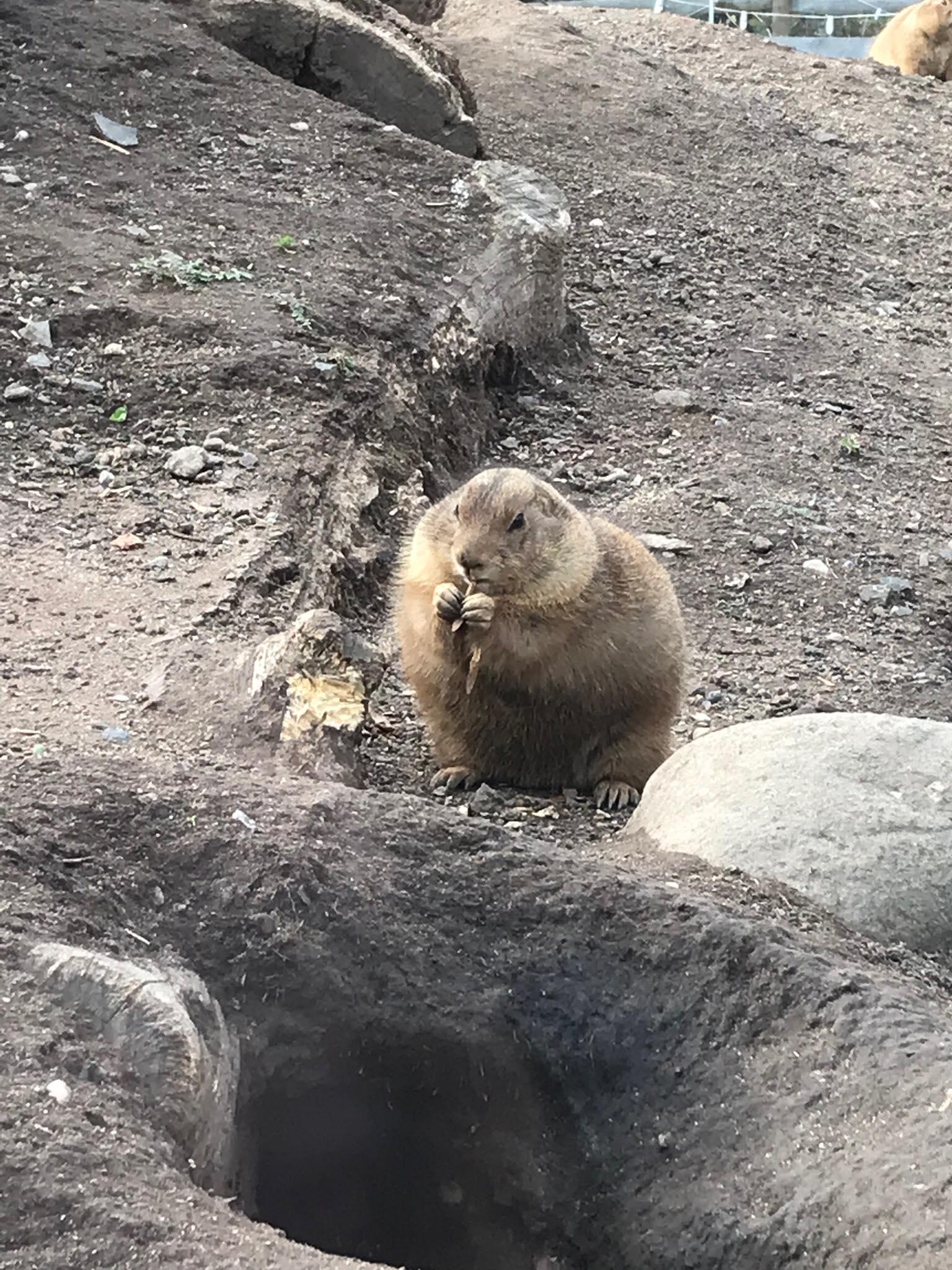 1) prairie dog