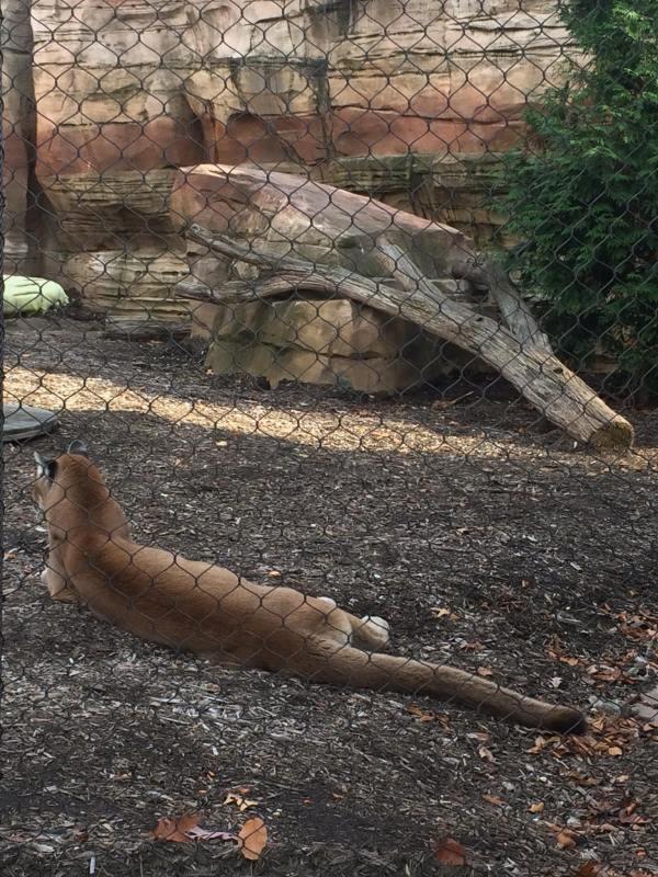 3) cougar