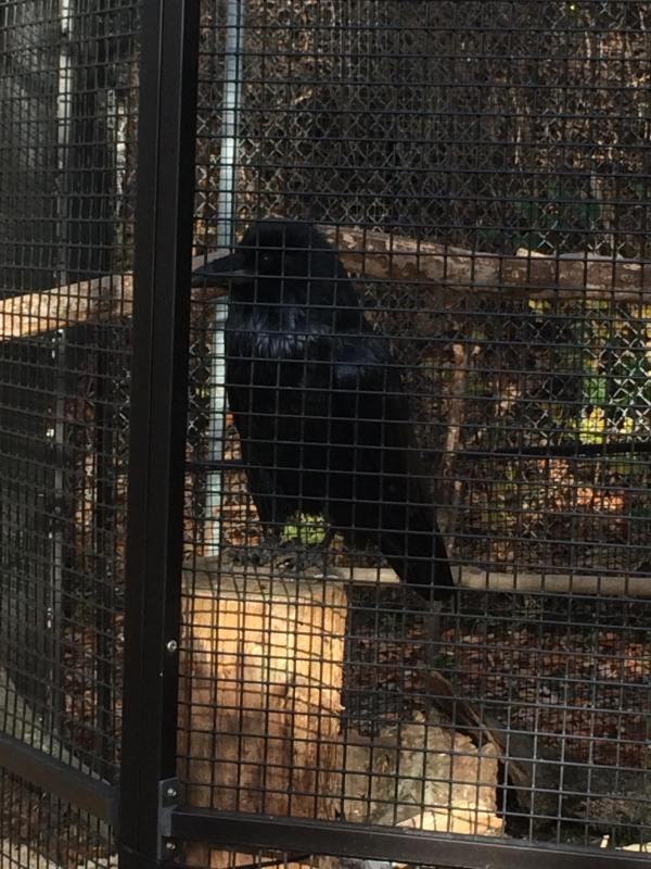 4) raven
