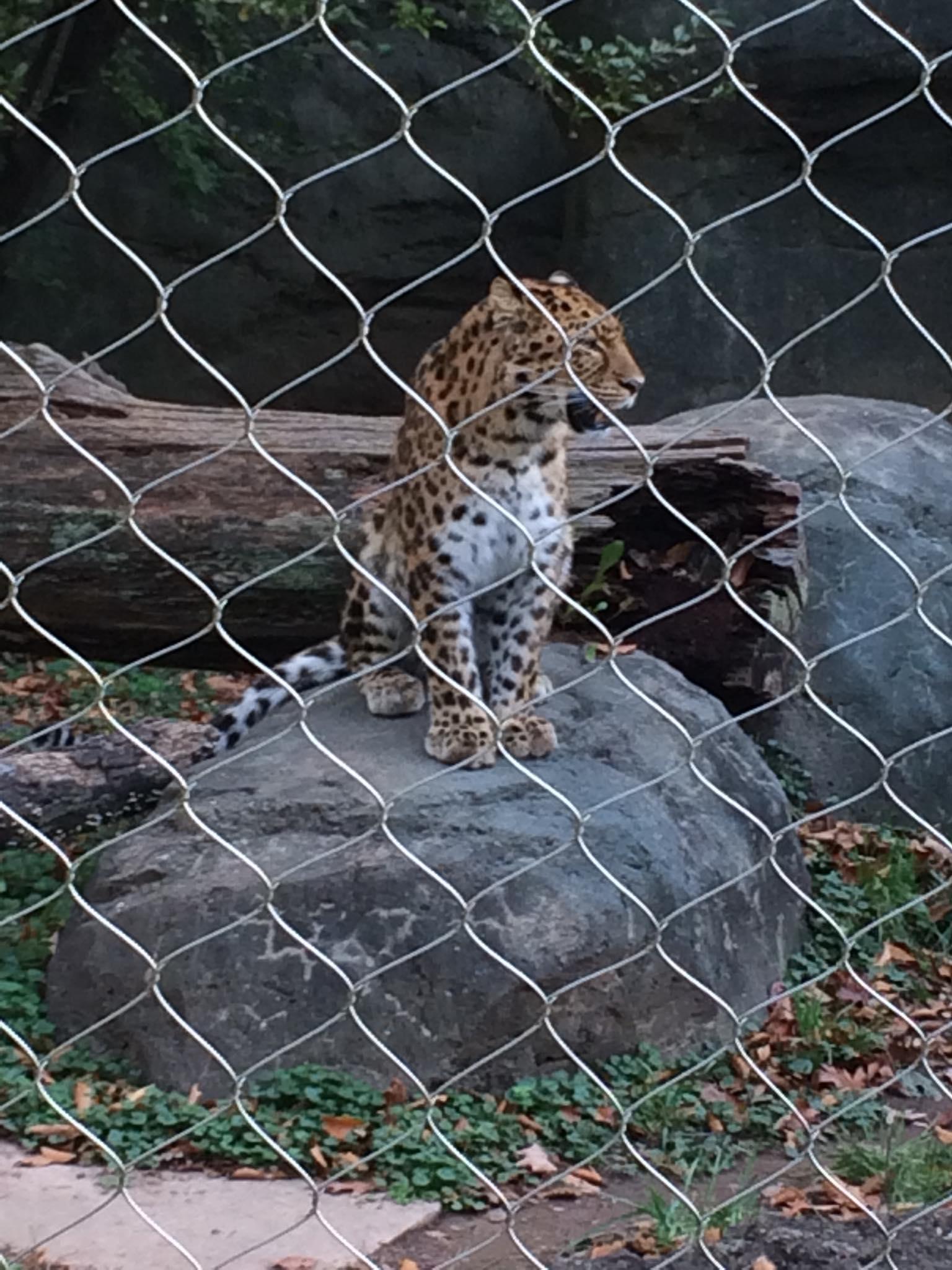 7) leopard